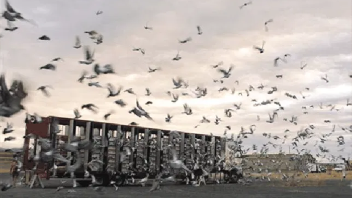 Pigeon diseases – the most common  seven health problems